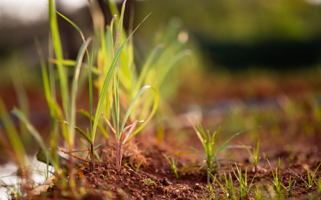 Cresce participação da cana-de-açúcar na geração de energia