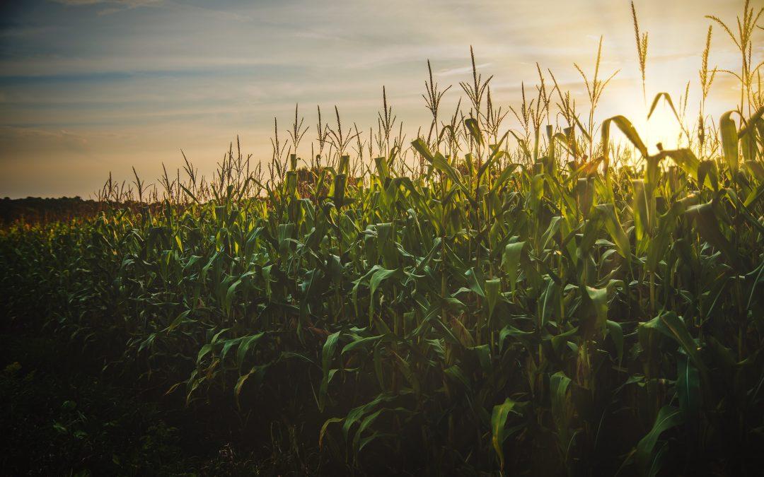 Produção de etanol de milho se destaca na entressafra da cana no Centro-Sul