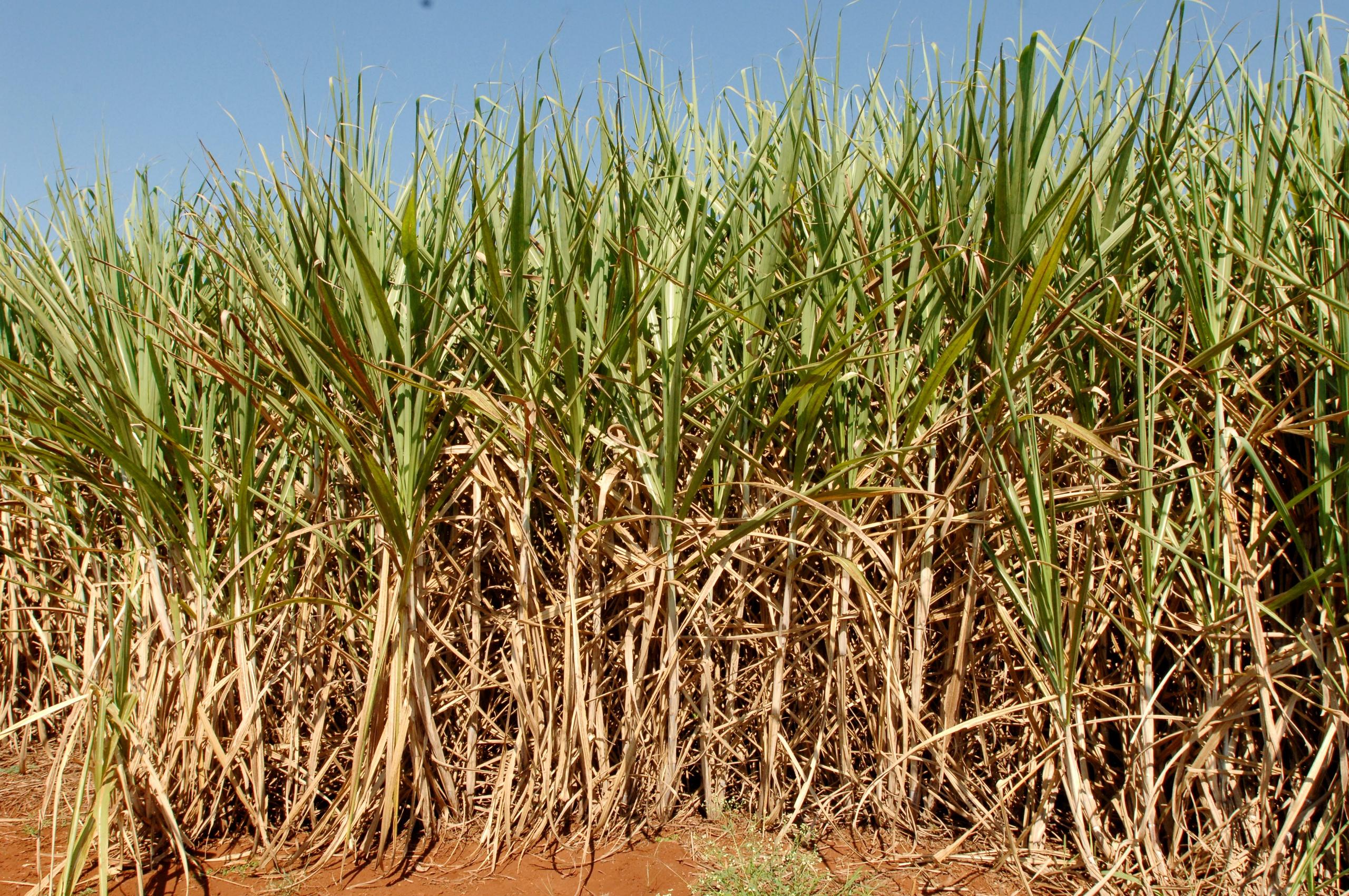 Cana Zoom: produtividade dos canaviais cresce 6,3% em julho