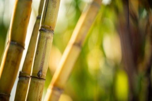 Cana-de-açúcar em destaque com fundo desfocado