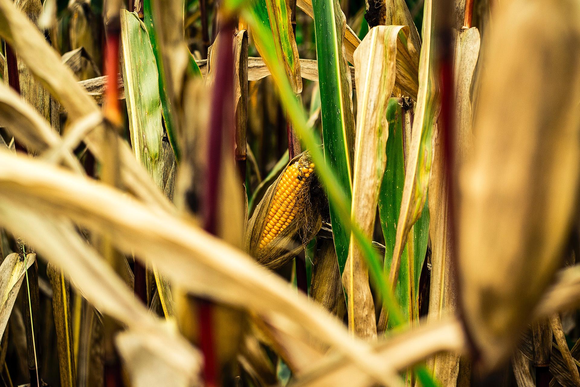 produção de etanol de milho se destaca na entressafra da cana de açúcar